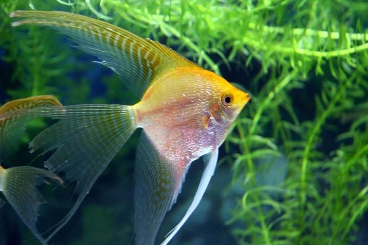 热带鱼:土耳其神仙鱼详细介绍